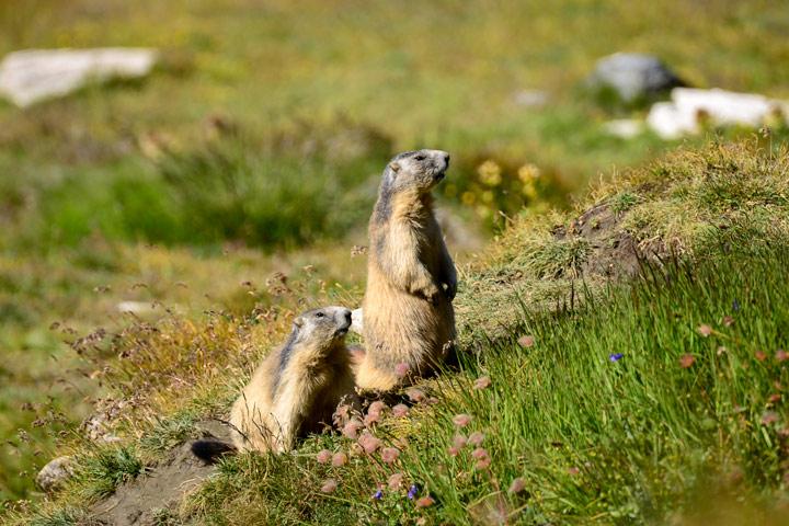 Murmeltiere in den Französischen Alpen