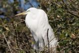 Florida - Silberreiher im Zoo von St. Augustine