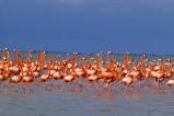 Flamingos in der Lagune Río Lagartos auf der Halbinsel Yucatán an der Karibikküste von Mexiko. Río Lagartos ist bekannt für seinen Vogelreichtum.