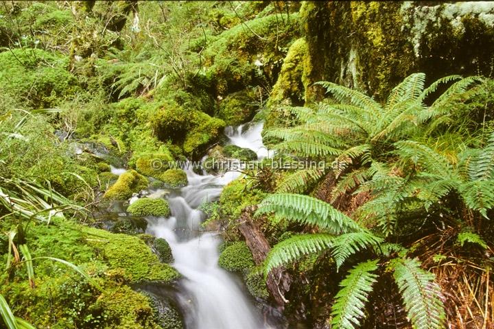Neuseeland - Regenwald - Im Westland National Park trifft der Gletscher auf den Regenwald.