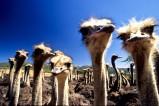 Südafrika - In der Gegend um Oudtshoorn gibt es zahlreiche Straußenfarmen. Die Federn der Tiere finden in der Modeindustrie Verwendung.